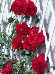 Le rose di Sonia