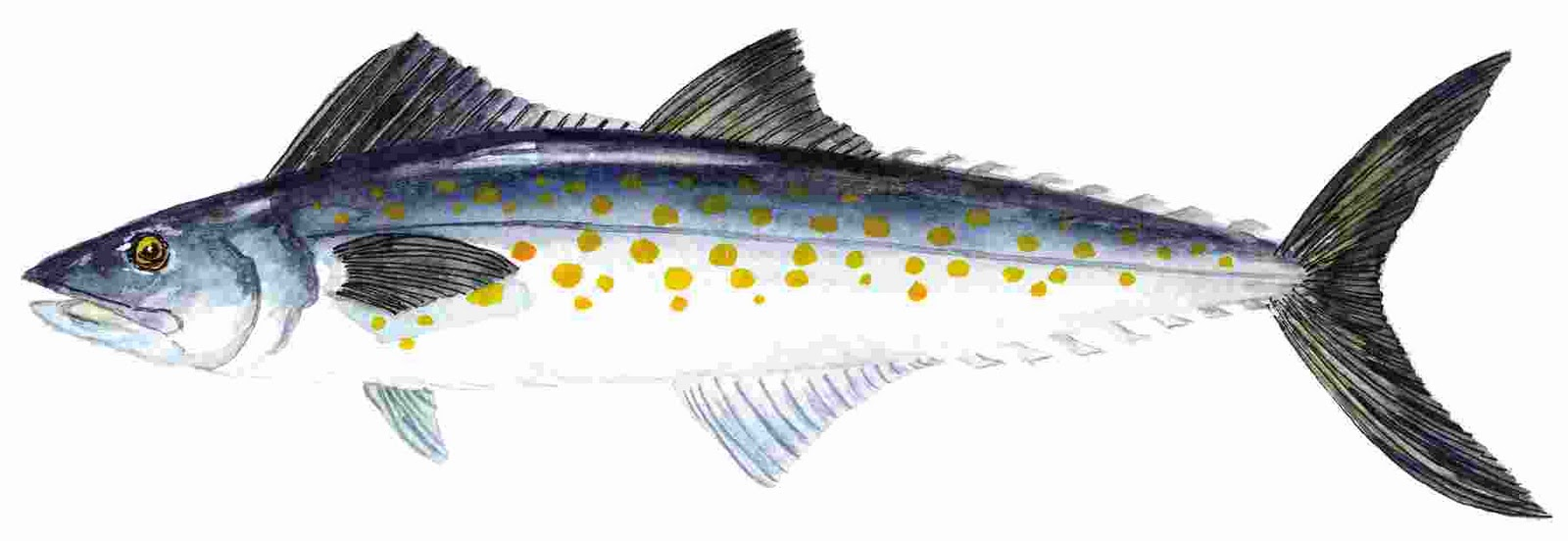 Something 39 s fishy what does a mackerel look like for Spanish mackerel fish