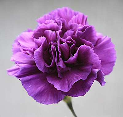 Carnation Flower Picture on Vin S Blog  Carnation Flower   Hoa C   M Ch     Ng