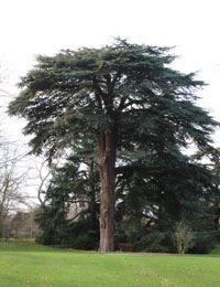 英国便り キューガーデンで探す聖書に出てくる木