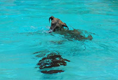 Greyhound puppy blog greyt brindle sharks for Otto swimmingpool