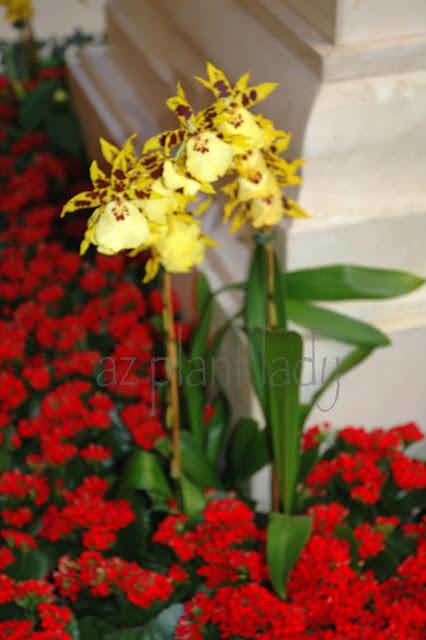 Ramblings From A Desert Garden Orchids Las Vegas And