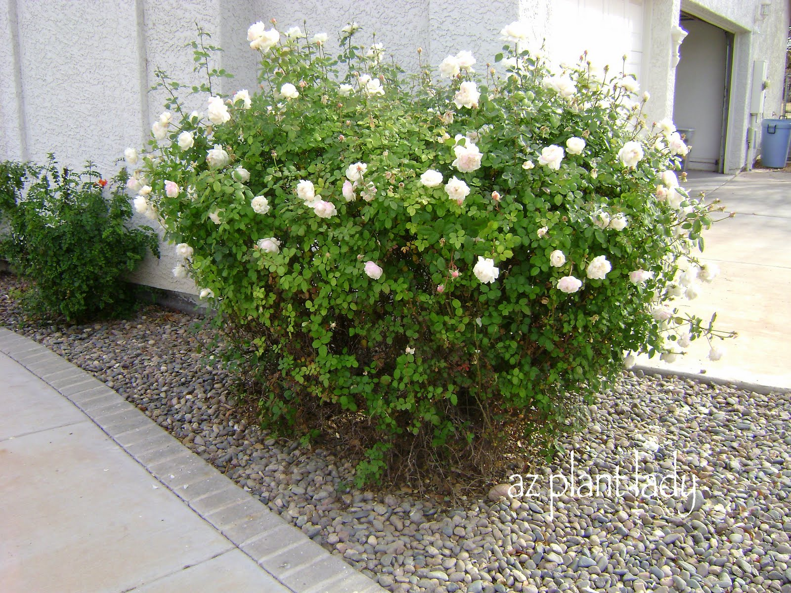 How to prune a rose bush - Unlike Many Rose Bushes This Particular One Continued To Bloom Without Any Help No Fertilizer Sprays Or Pruning But There Was A Lot Of Dead Growth And