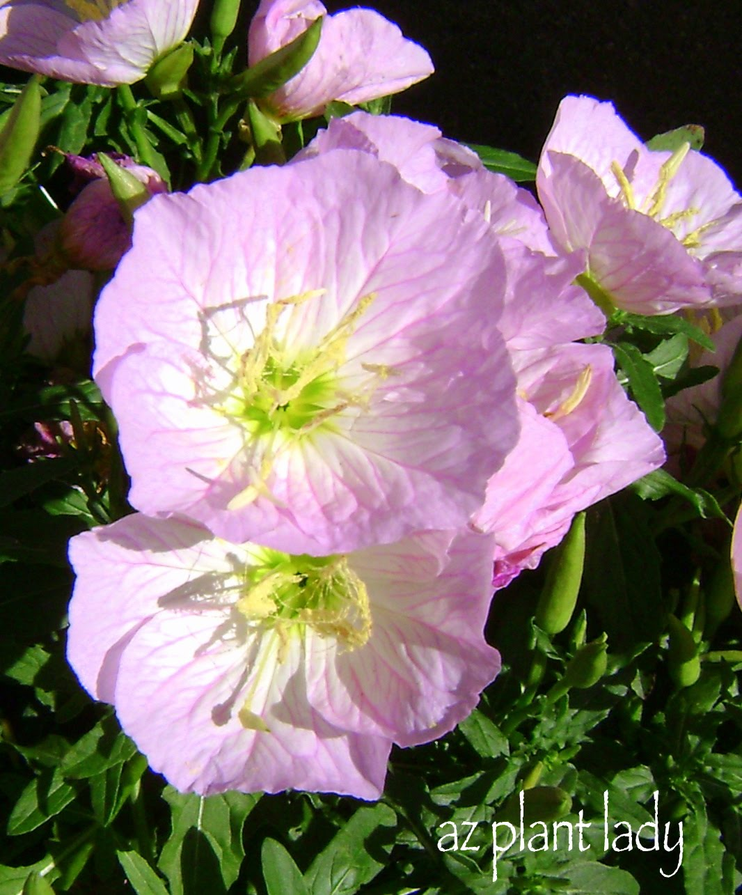 Pretty in pinkwith a hidden secret ramblings from a desert garden mexican evening primrose is a groundcover the produces beautiful pink flowers in the spring they are drought tolerant and hardy to zone 5 through 9 mightylinksfo