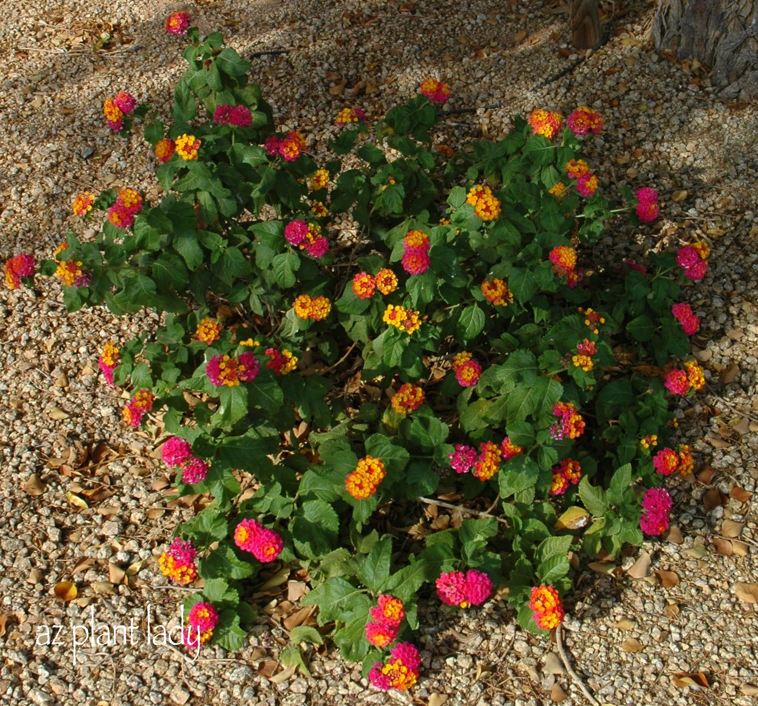 This is my lantana growing underneath my tree the photo was taken in