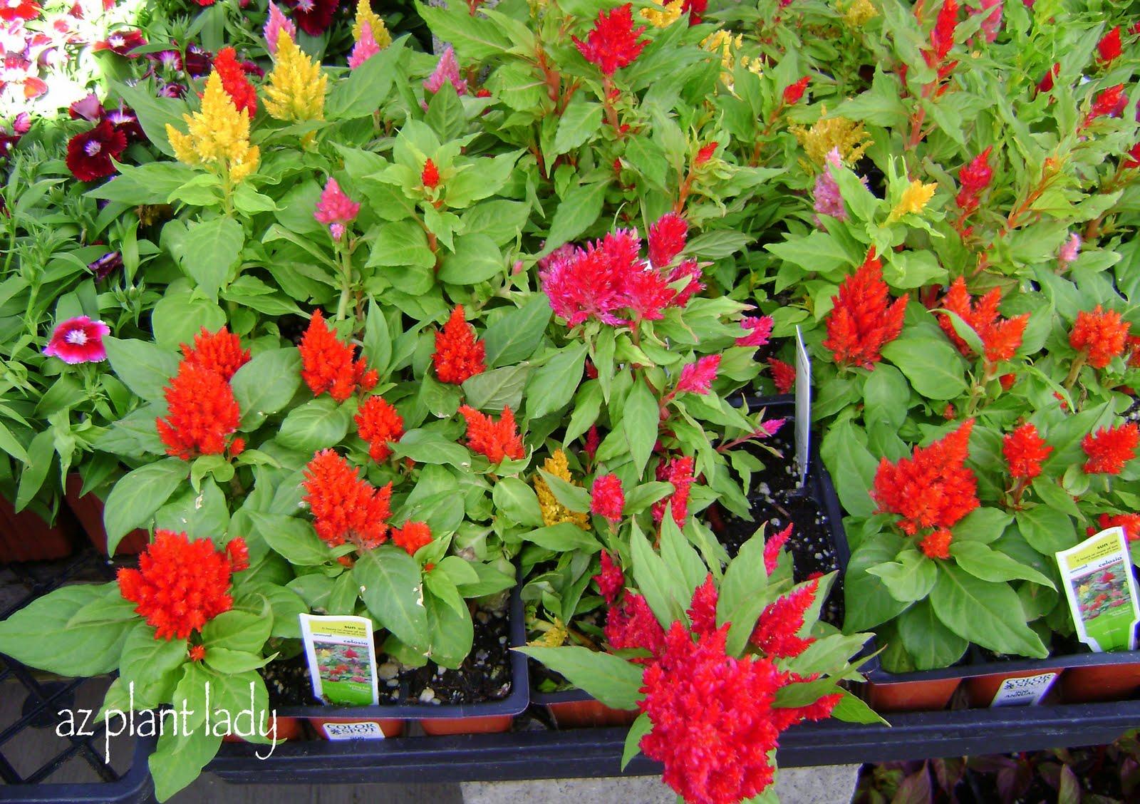 Winter or summer flowersa pop quiz ramblings from a desert garden winter or summer annual celosia winter or summer flowers izmirmasajfo