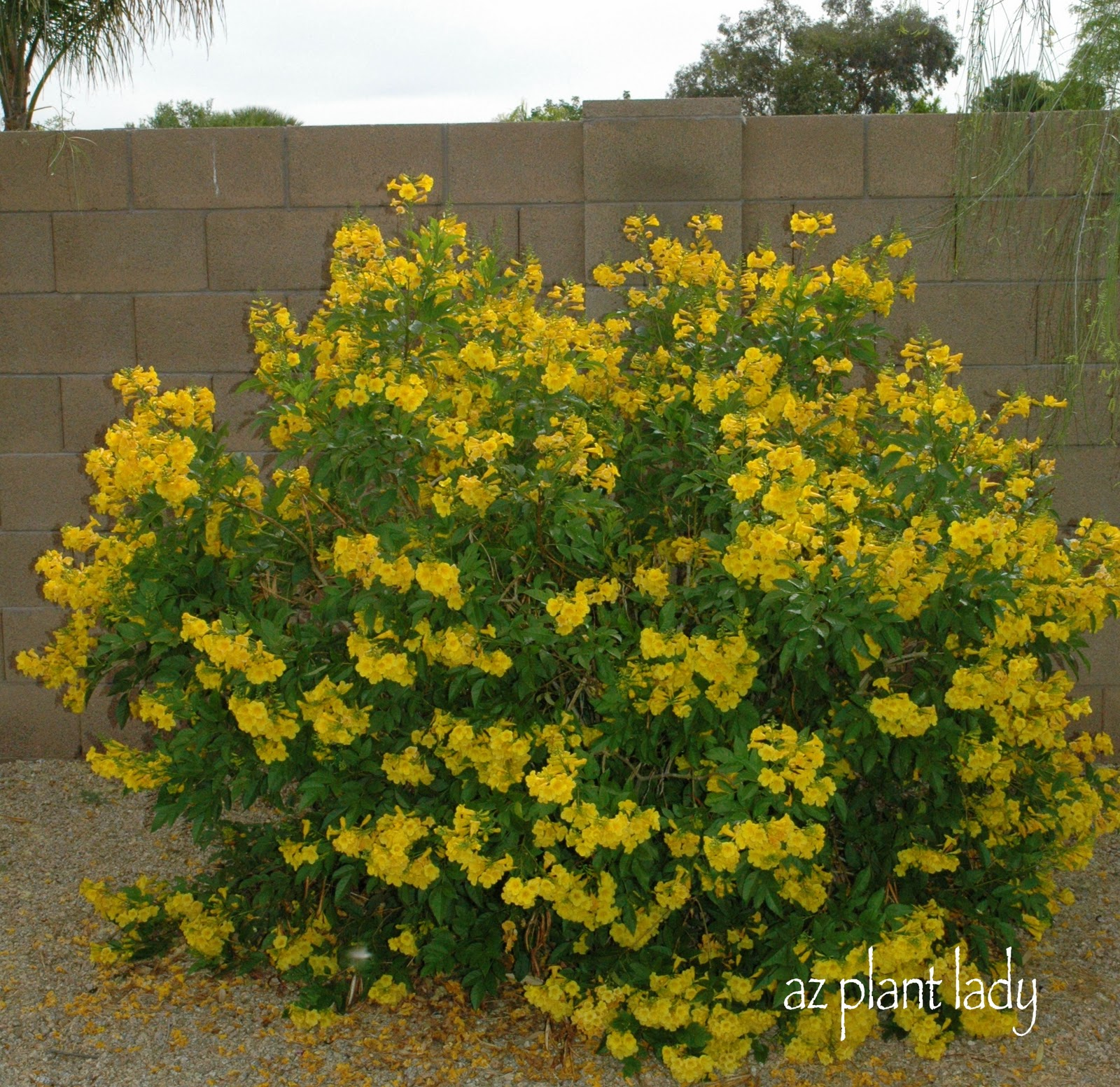 Shrubs | Shrub Nursery | Shrubs for Sale Mesa, Gilbert, and Queen ...