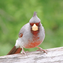 Not an Angry Cardinal:  a Pyrrhuloxia!