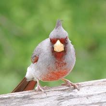Not an Angry Cardinal:  a Pyrrhuloxia!