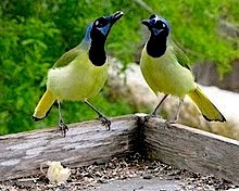 Green Jays:  a south texas specialty