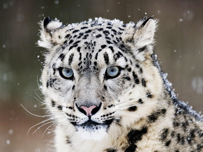Snow Leopard | Music and Happy Life
