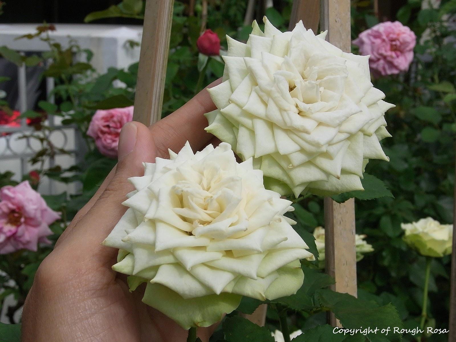 Bibit Eksotic Bunga Mawar Putih - Beli Harga Murah