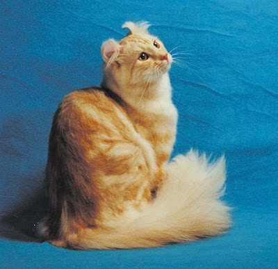 unusual American Curl cat