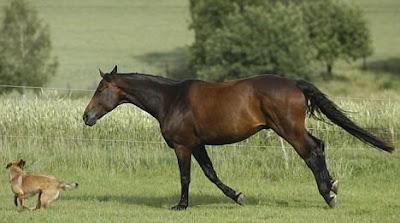 Horse-Dog