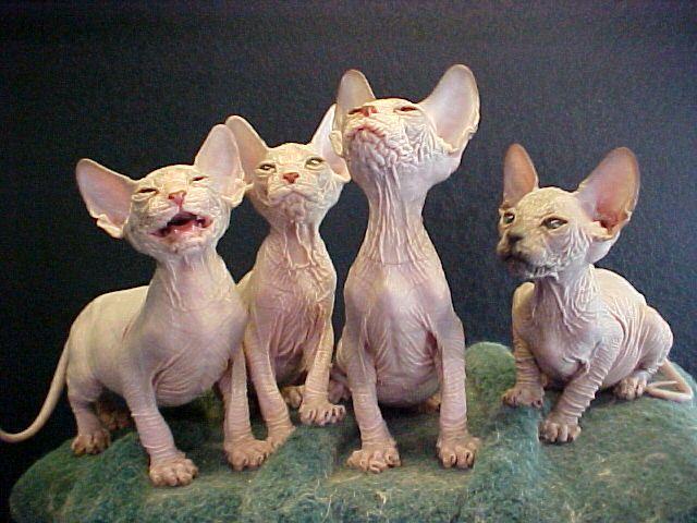http://2.bp.blogspot.com/_JmpkIMgnzIE/TGG2x3cPgKI/AAAAAAAAlP8/GKUymib2ybo/s1600/Bizarre+and+Ugly+Cat+8.jpg