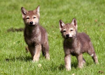 Les renard et les loup Baby-wolf3