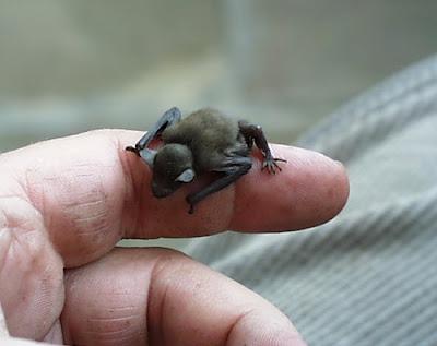 vampire-bats-sleeping