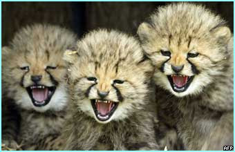 Picture of three mean looking baby cheetahsReally Cute Baby Cheetahs