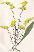 Nebraska Goldenrod