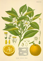 Florida Orange Blossoms