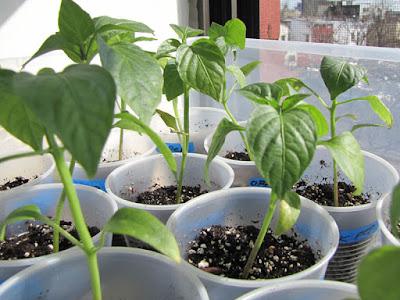 Bucolic Bushwick 2010 Pepper Seedlings