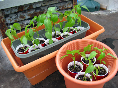 Rooftop Container Vegetable Garden Pepper Plants