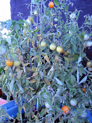 Bushwick Rooftop Container Garden Vegetable Disease