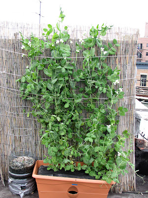 Bushwick Rooftop Container Vegetable Garden Peas