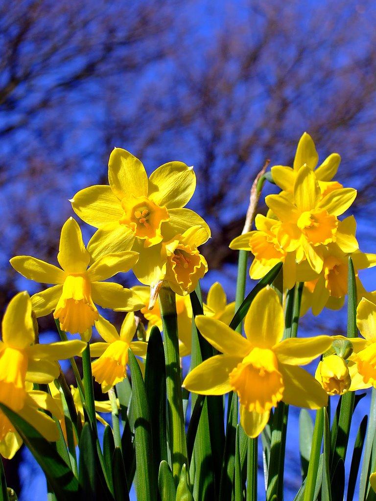 [Daffodil.jpg]