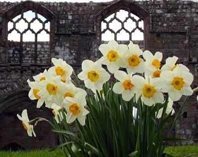 [white_daffodils.jpg]