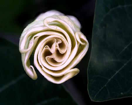 [moonflowerbud.jpg]