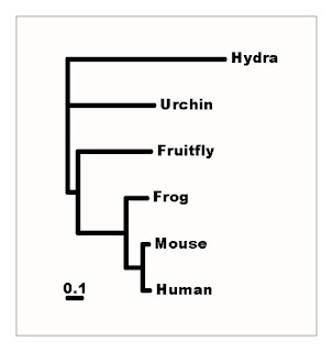 A phylogeny of Notch homologues