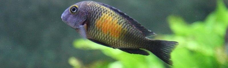 Cichlidae