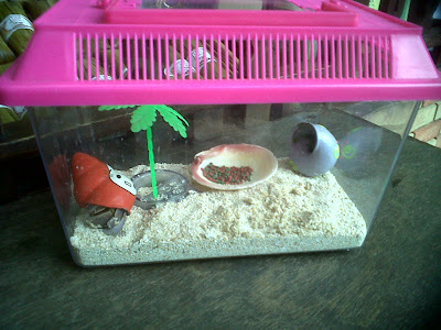 Hermit Crab Pet