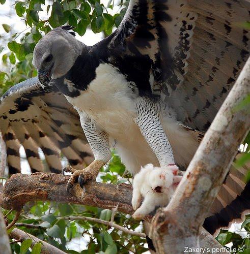 Harpy eagle hunting monkey - photo#7