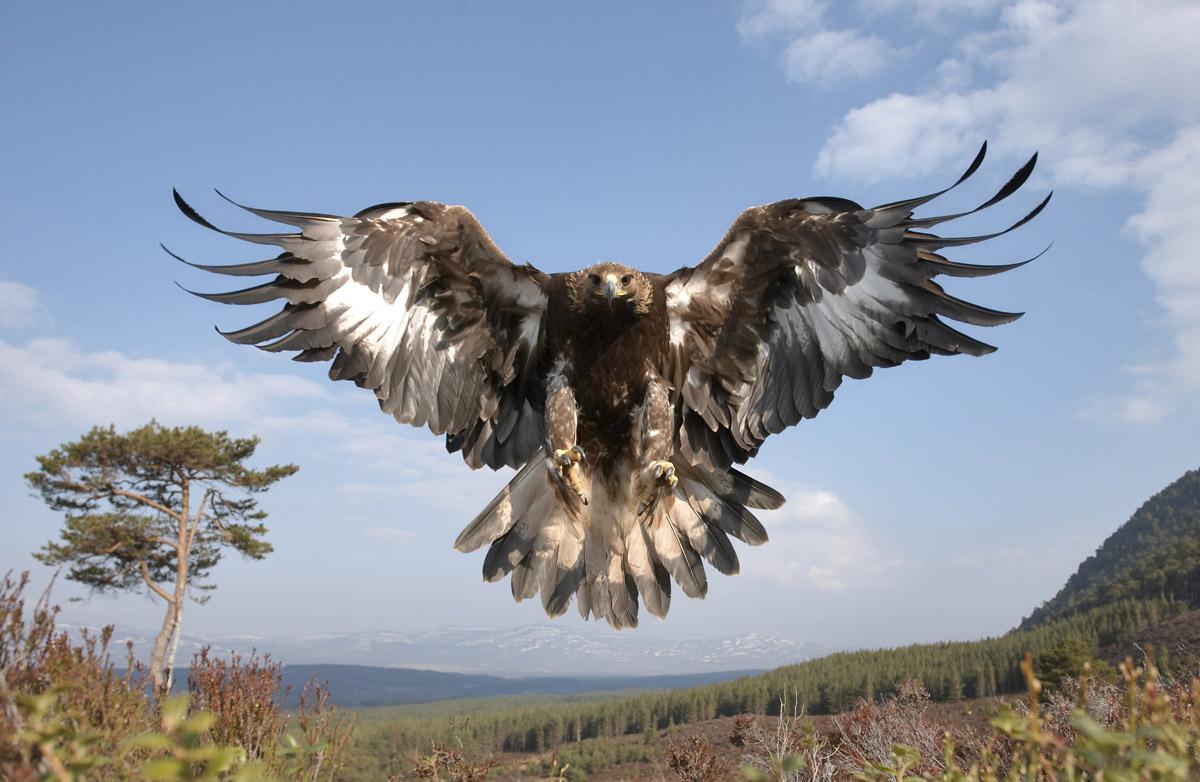White Wolf  An Incredibly Rare Leucistic Bald Eagle Makes