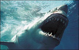 great white shark01 - top ten predators