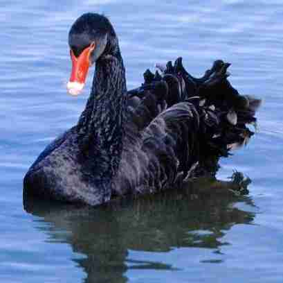 The serious black swans are able