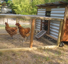 Maverick's chickens