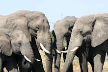 Elephants conferring in Namibia