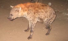 Hyena at home