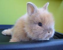 Adopta un Conejo o Roedor