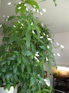 Ruellia paris c t jardin for Graine d interieur paris
