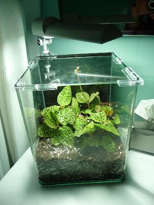 Paris côté jardin: Mini terrarium pour orchidée bijou