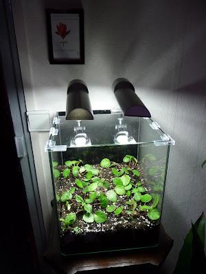 paris c t jardin mini terrarium pour chirita tamiana. Black Bedroom Furniture Sets. Home Design Ideas