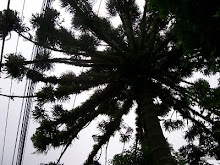 araucaria berço de bromelias
