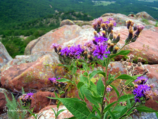 Purple wildflowers on Mountain near Lawton, Ok
