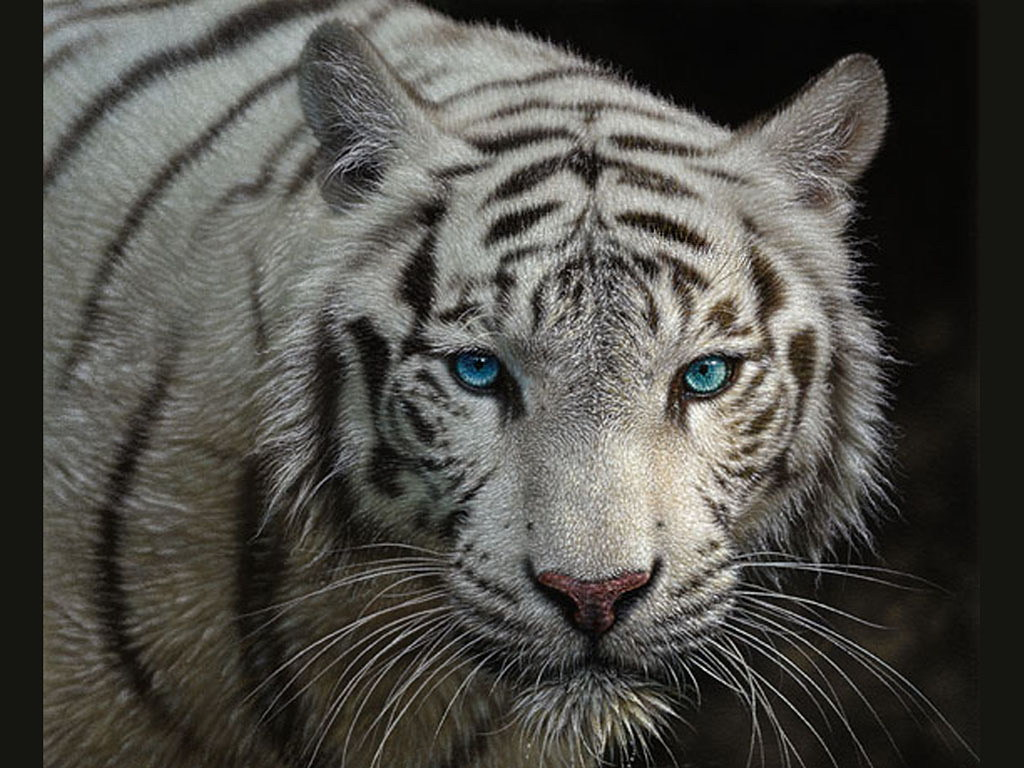 wallpapers white tiger images wallpapers