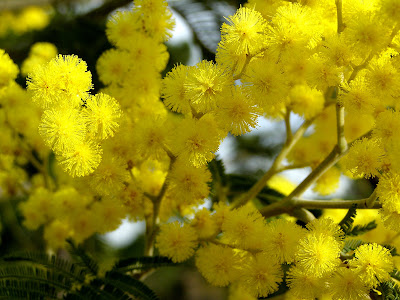 Mimosas em Flor
