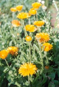 Цветы календулы, желтые цветы